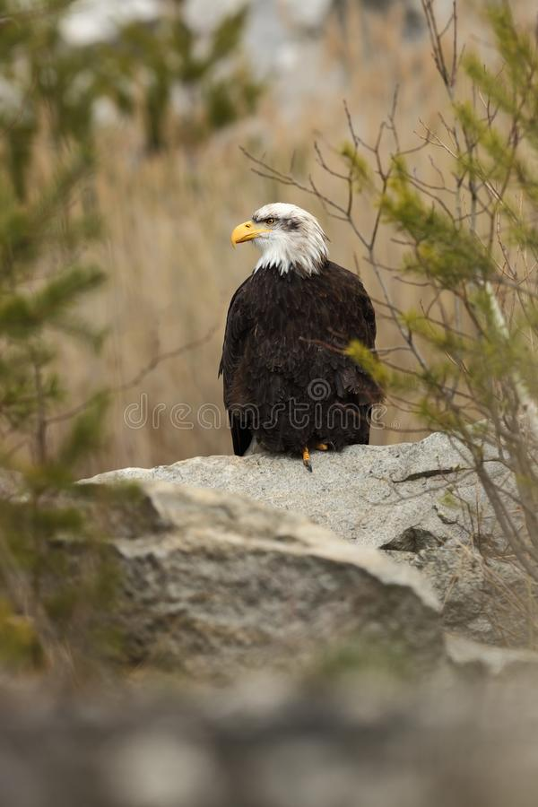 Haliaeetus leucocephalus. Bald Eagle is a big bird of prey living in North America. It is a national bird and a symbol of the state of the United States stock image