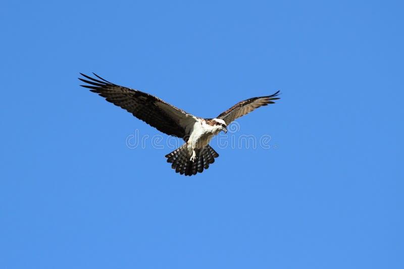 haliaetus白鹭的羽毛pandion 免版税库存图片