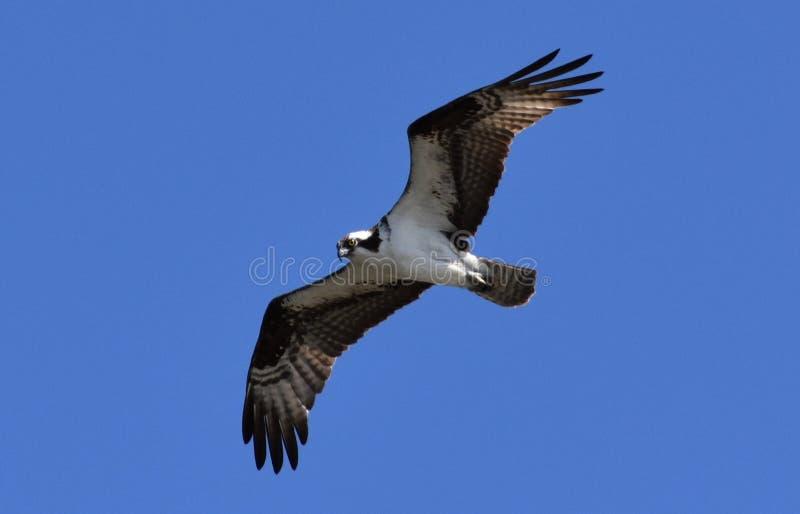 Haliaetus πετώντας στα ύψη Ιούλιος Thermals λεκανών Osprey/Pandion της Κολούμπια στοκ φωτογραφίες