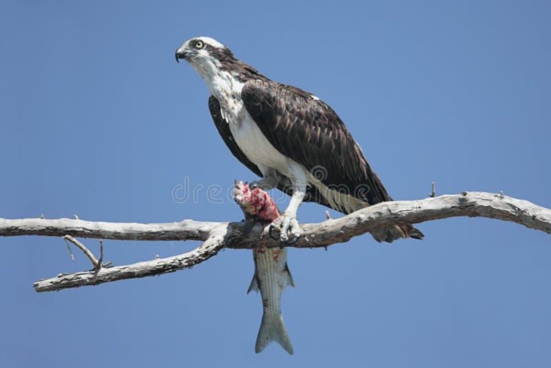 Haliaetus de Pandion d'Osprey photos libres de droits