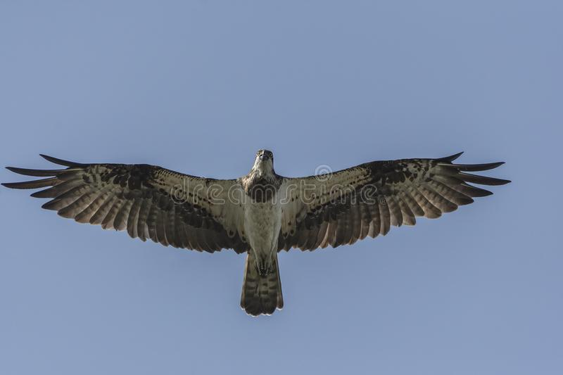 Haliaetus del Pandion de Osprey en vuelo fotos de archivo