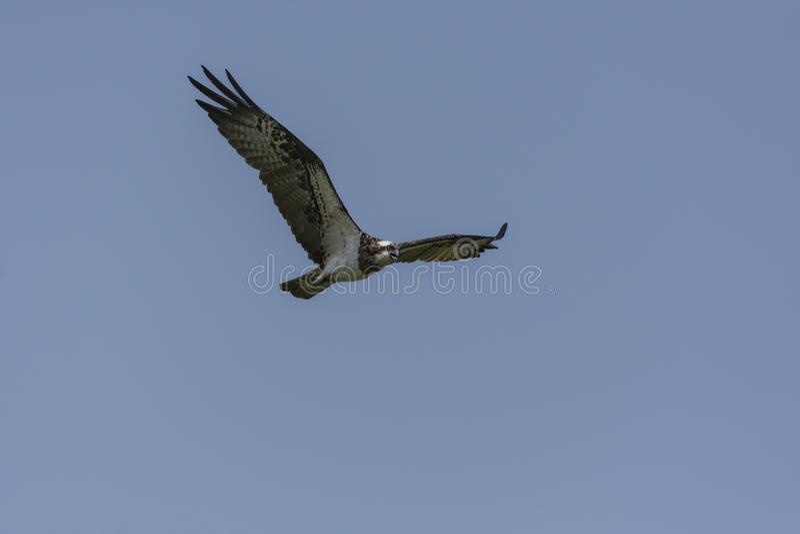 Haliaetus del Pandion de Osprey en vuelo fotografía de archivo