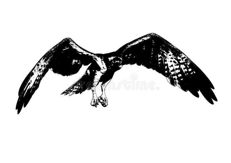 Haliaetus del Pandion de Osprey en vuelo - imagen de archivo