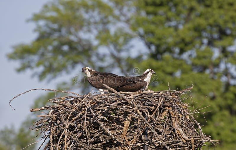 Haliaetus van Ospreyspandion op het nest die de kuikens beschermen en voor roofdieren opletten stock foto