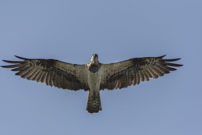 Haliaetus van visarendpandion tijdens de vlucht stock foto's