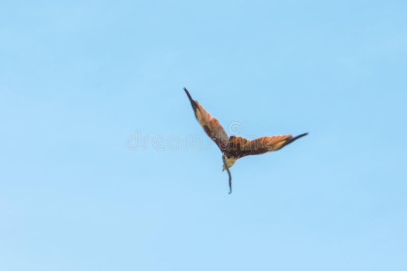 Haliastur indus está volando hacia fuera para la presa imagen de archivo libre de regalías
