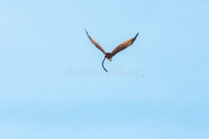 Haliastur indus está volando hacia fuera para la presa fotos de archivo