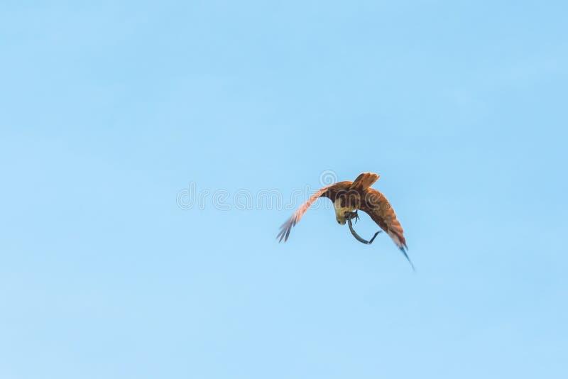 Haliastur indus está volando hacia fuera para la presa fotografía de archivo libre de regalías