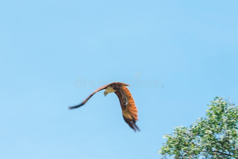 Haliastur indus está volando hacia fuera para la presa fotos de archivo libres de regalías