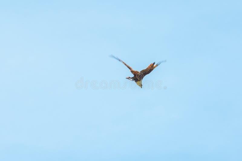 Haliastur indus está volando hacia fuera para la presa imagenes de archivo