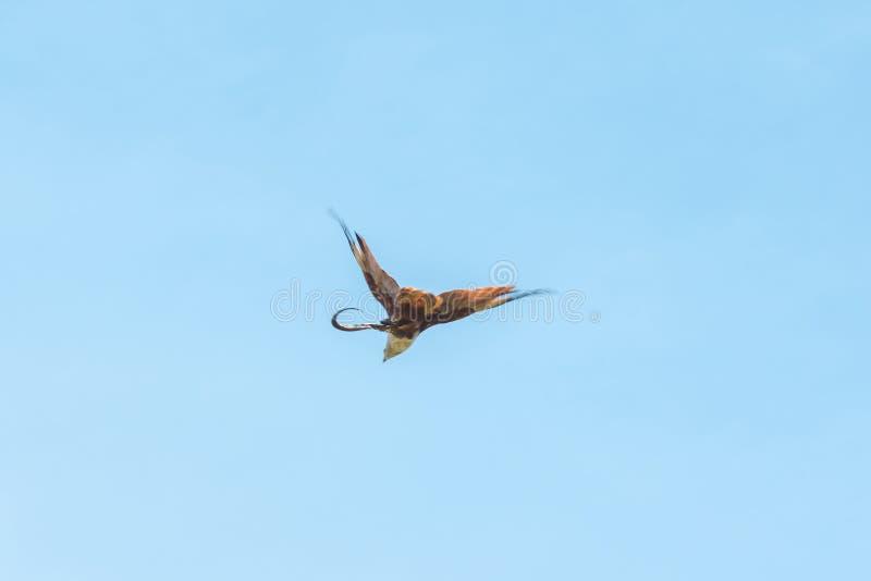 Haliastur indus está volando hacia fuera para la presa foto de archivo