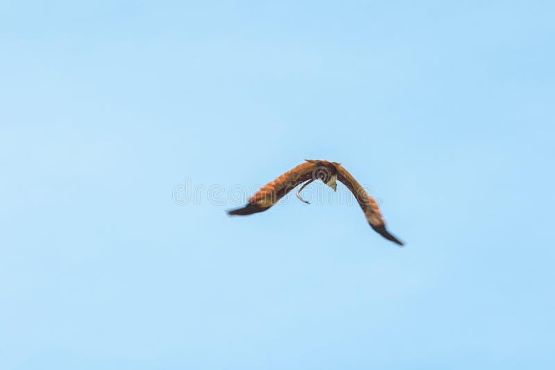 Haliastur indus está volando hacia fuera para la presa fotografía de archivo