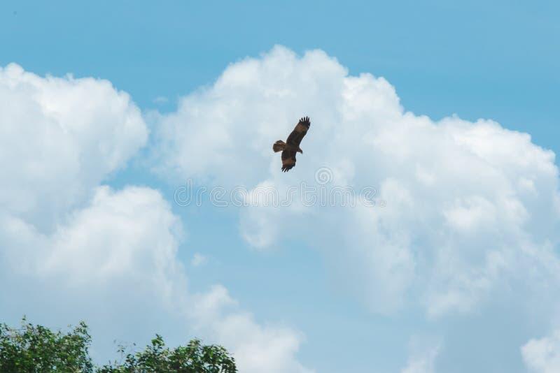 Haliastur indus está volando hacia fuera para la presa imagen de archivo