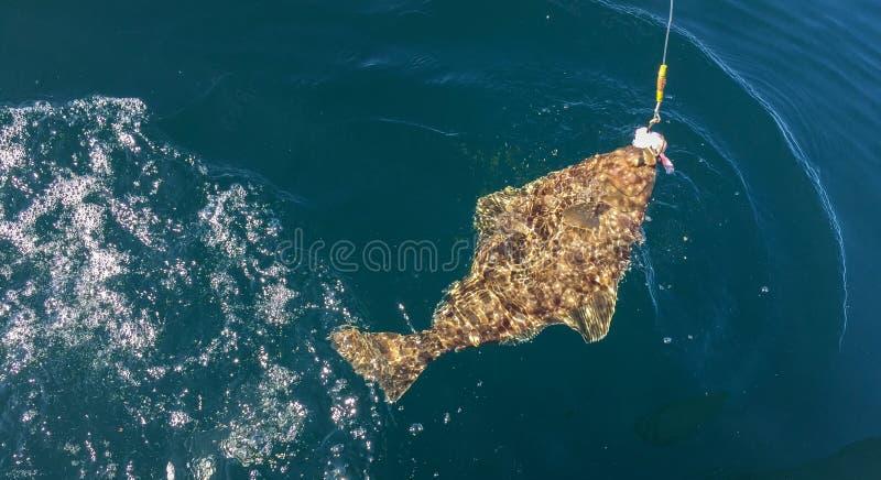 Halibut de Alaska enganchado en línea de la pesca deportiva fotos de archivo