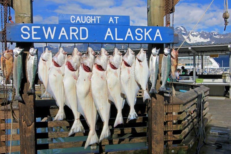 Halibuty łapiący przy Seward Alaska byli haczykiem dla ważyć w Seward, Alaska, usa obraz stock