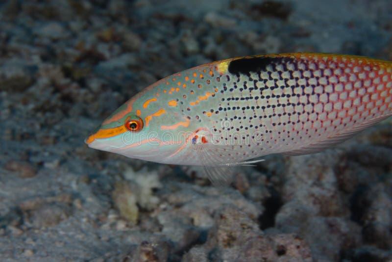 Halichoeres hortulanus - wrasse - Red Sea stock photos