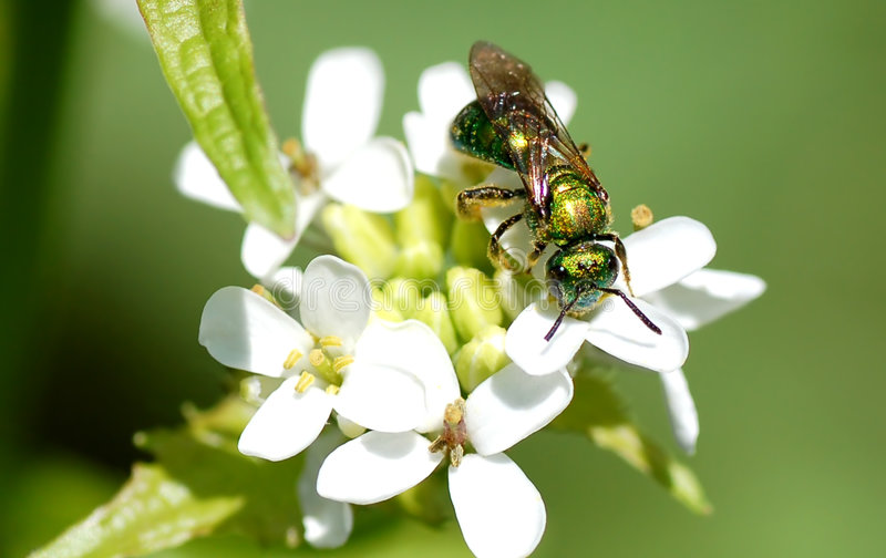 Halictid Bee. A metallic green bee nectaring on a flower royalty free stock photo