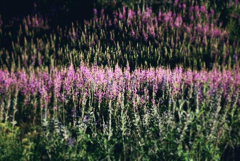 Halizna kwiaty zdjęcie stock