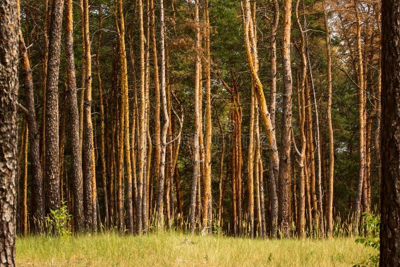 Halizna w lata sosnowy lasowy jaskrawym - zielonej trawy i drzew giganty obrazy royalty free
