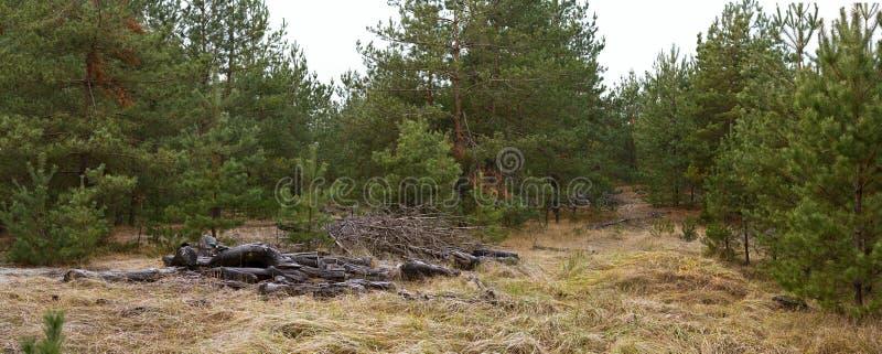 Halizna w sosnowym drewnie z fałdowymi gałąź - jesień krajobraz obraz stock