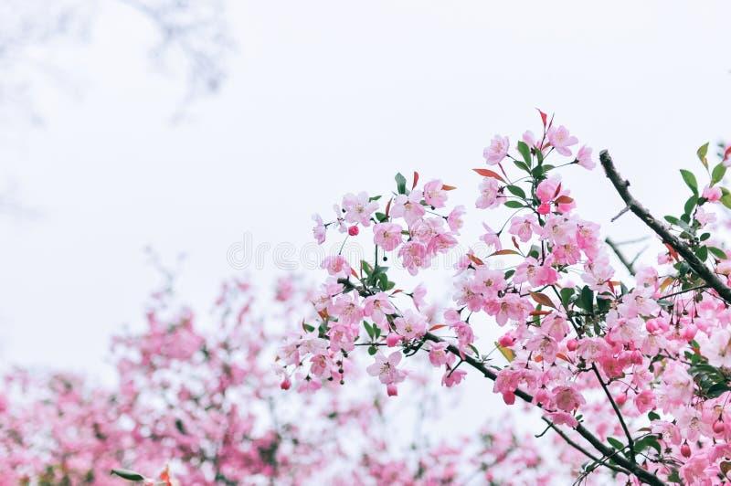 Hall-crabapple Blumen stockfotografie