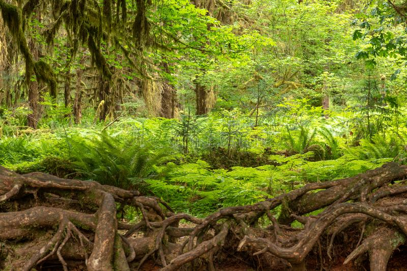 Hall of Mosses in the Hoh Rainforest of Olympic National Park. Washington, USA royalty free stock photography
