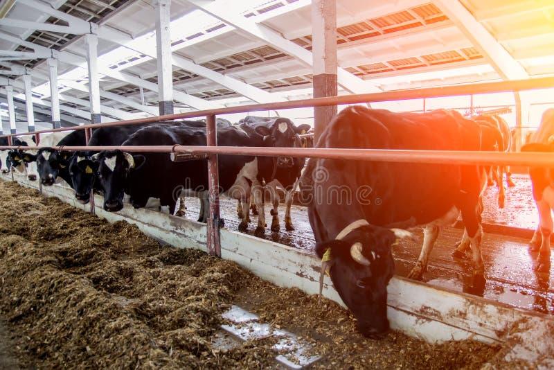 Hall som mjölkar kor på en mejerilantgård arkivbild