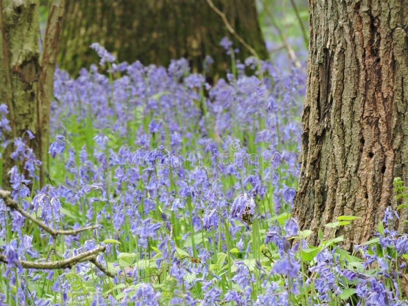 Hallerbos Belgien, skogen med blåa hyacinter royaltyfria foton