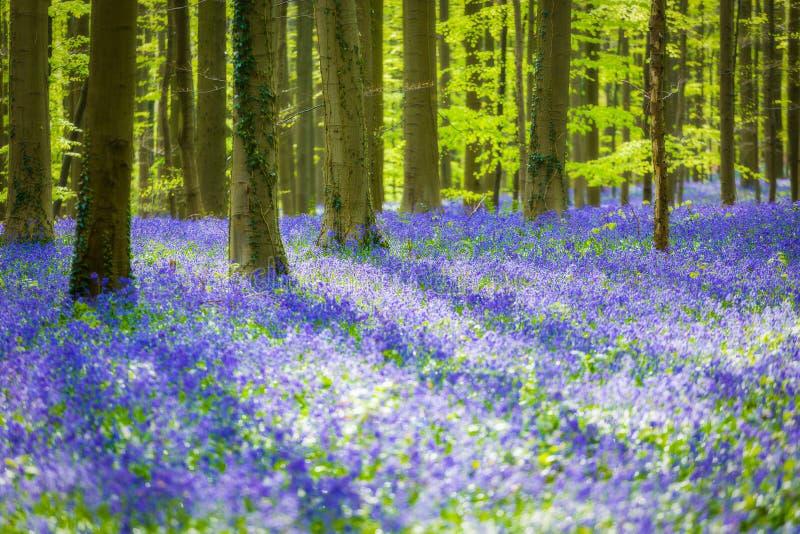 Hallerbos Bluebells Forest, Belgium. Hallerbos, beech forest in Belgium full of blue bells flowers stock image