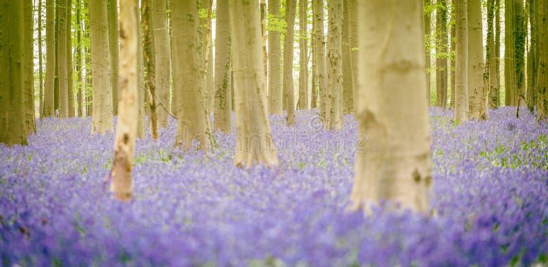 Hallerbos Bluebells Forest, Belgium. Hallerbos, beech forest in Belgium full of blue bells flowers royalty free stock photo