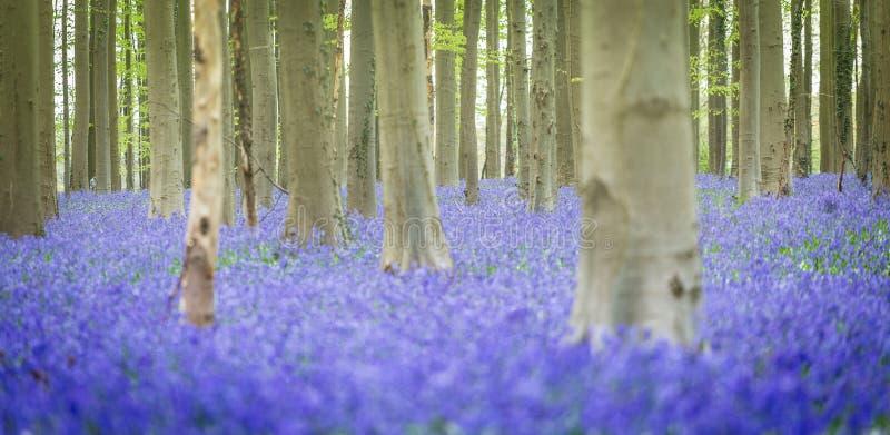 Hallerbos Bluebells Forest, Belgium. Hallerbos, beech forest in Belgium full of blue bells flowers stock photo