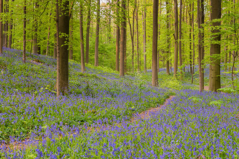 Hallerbos. Bluebells in spring at the Hallerbos in Belgium stock photography