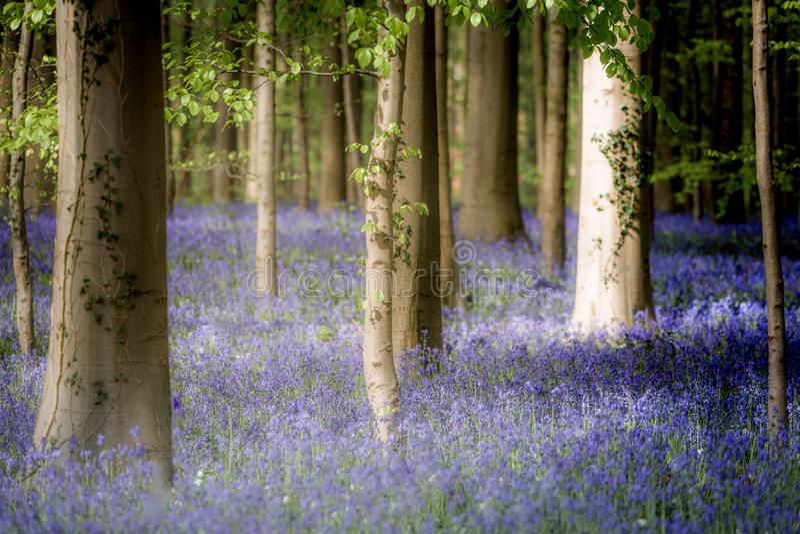 Hallerbos enchanted forest in Belgium, bluebells flowers in bloom. Europe stock photos