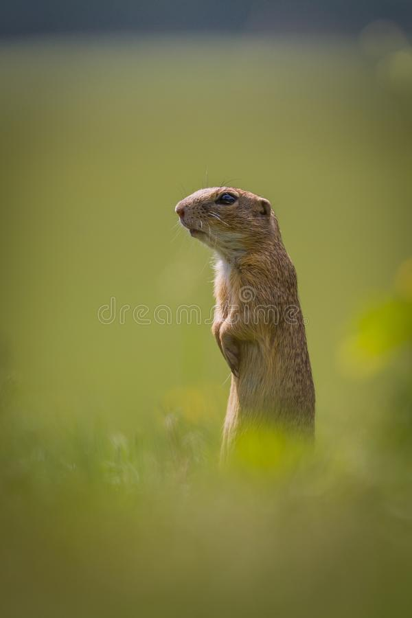 Hallo boys, I am here. The European ground squirrel grows to a length of approximately 20 cm and a weight of approximately 300 grams. It is a diurnal animal stock image