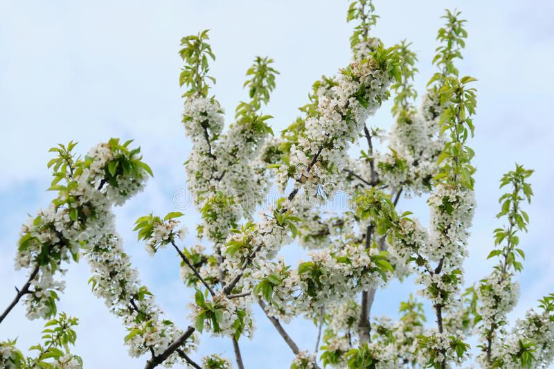 Hallo Frühling, Baum, Niederlassung von weißen Kirschblüten, Hintergrund des blauen Himmels stockfoto