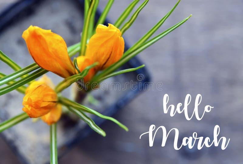 Hallo März-Grußkarte mit ersten Frühlingsblumen des gelben Krokusses in einem Blumentopf auf altem hölzernem Hintergrund Frühjahr lizenzfreie stockfotografie