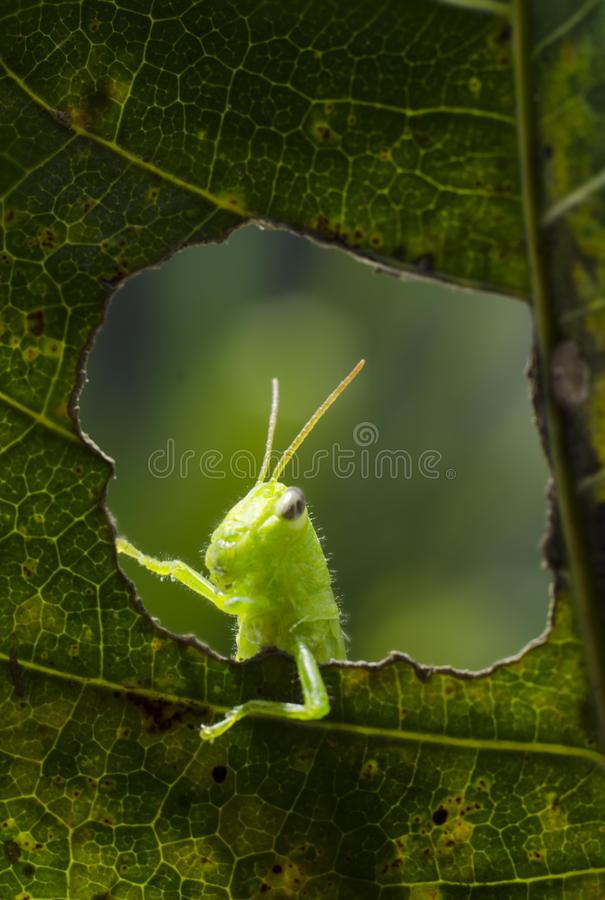 Hallo. This is macro photo if grasshopper in the mango leaf royalty free stock image