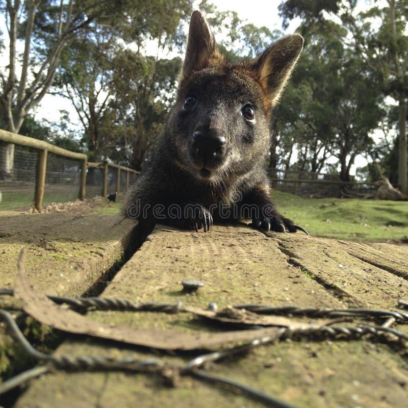 Hallo Wallaby lizenzfreie stockfotos