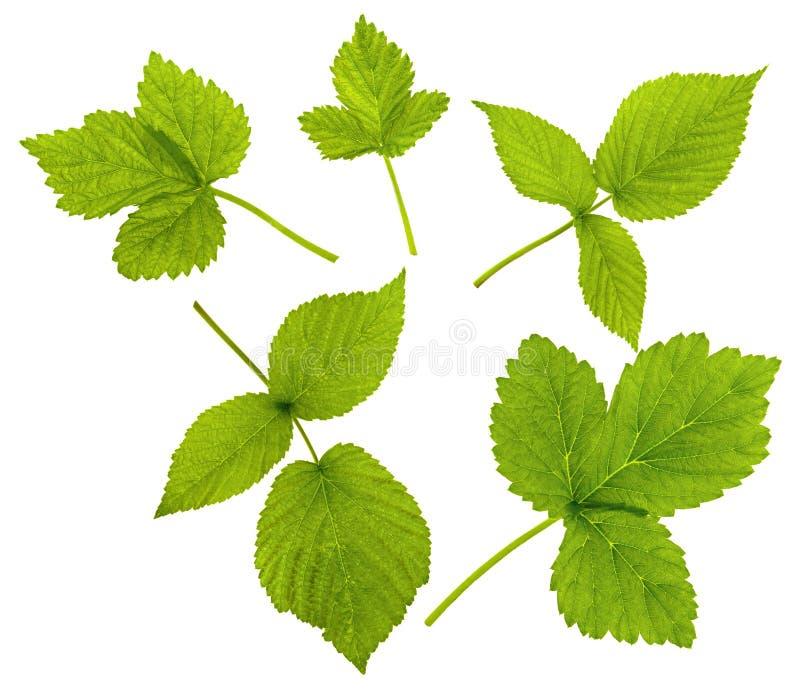 Hallon- eller Blackberry blad som isoleras på vit bakgrund Ställ in av gröna nya växtsidor av olika former royaltyfri foto