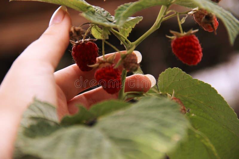 Hallon för hopsamling för hand för kvinna` s på en buske Closeup av hallonrottingen Sommarträdgård i by Växande bärskörd royaltyfria bilder