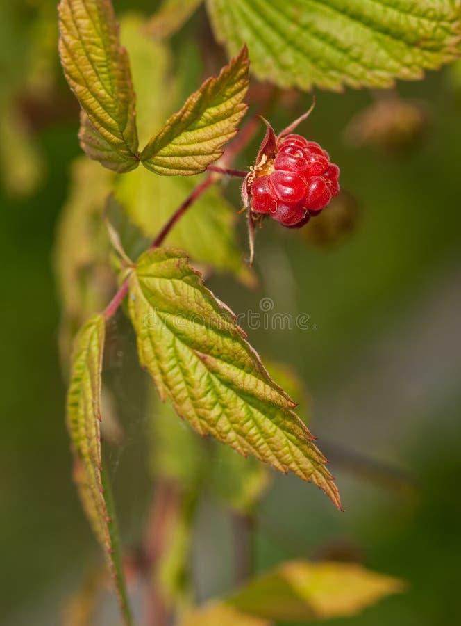 Hallon - Rubusidaeus - frukt & sidor arkivbild