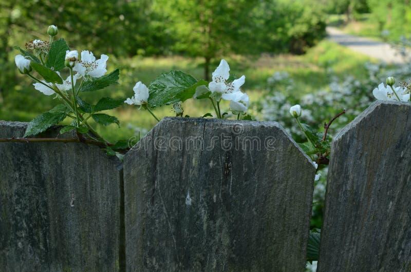 Hallonblomningar överst av staketlandsvägen i avstånd royaltyfri foto