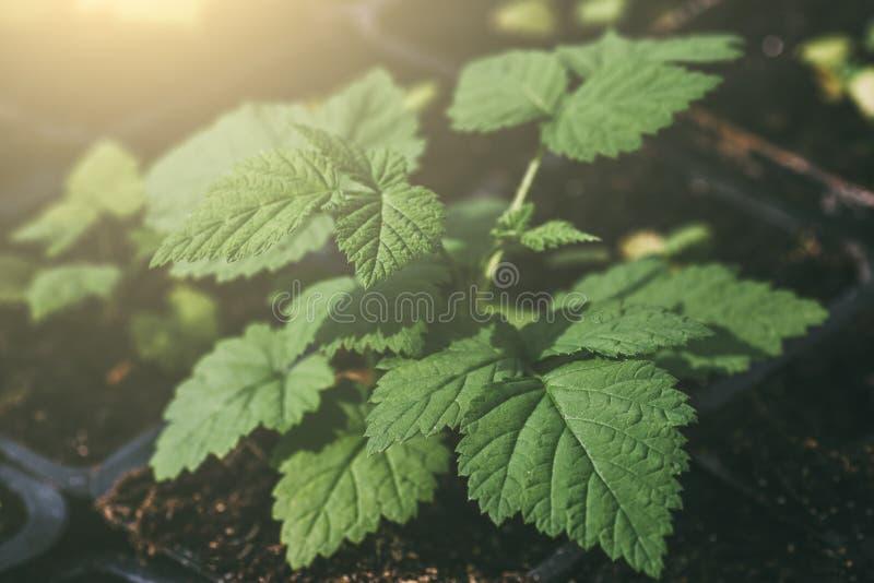 Hallonbuske i solljus, växt med gräsplansidor i växthuset, åkerbrukt arbeta i trädgården, makro arkivbild
