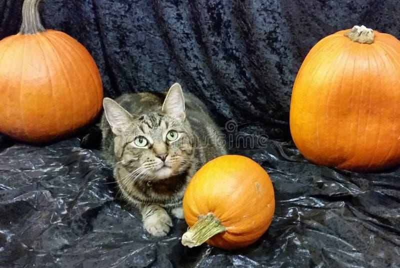 Halloween cat with pumpkins royalty free stock photos