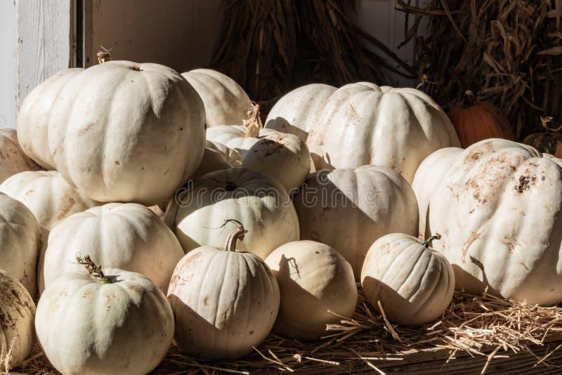 Halloween, celebrazione stagionale di festa di ringraziamento varie zucche bianche su esposizione nel celebrat del fondo di cadut fotografia stock