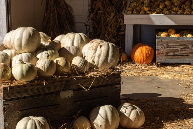 Halloween, celebrazione stagionale di festa di ringraziamento varie zucche bianche su esposizione nel celebrat del fondo di cadut fotografie stock libere da diritti