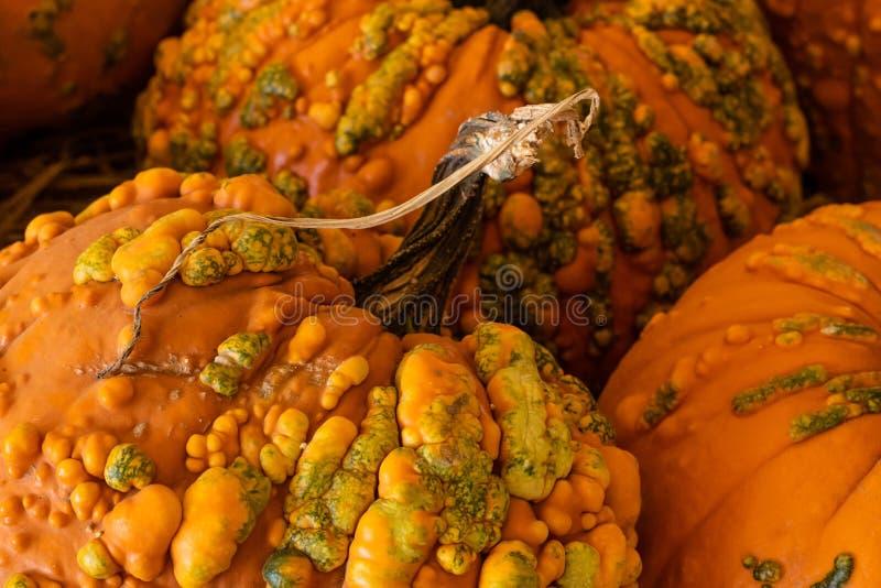 Halloween, celebrazione stagionale di festa di ringraziamento varie zucche su esposizione nel fondo di caduta di natura morta che fotografie stock libere da diritti