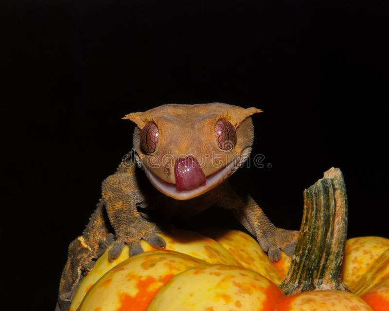 Halloween Crested Gecko royalty-vrije stock foto