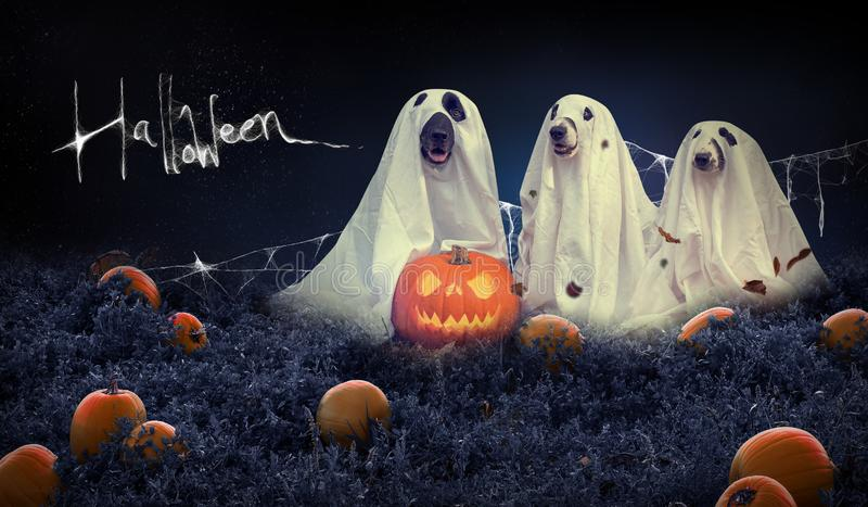 Halloween background with dogs and pumpkin field royalty free stock image