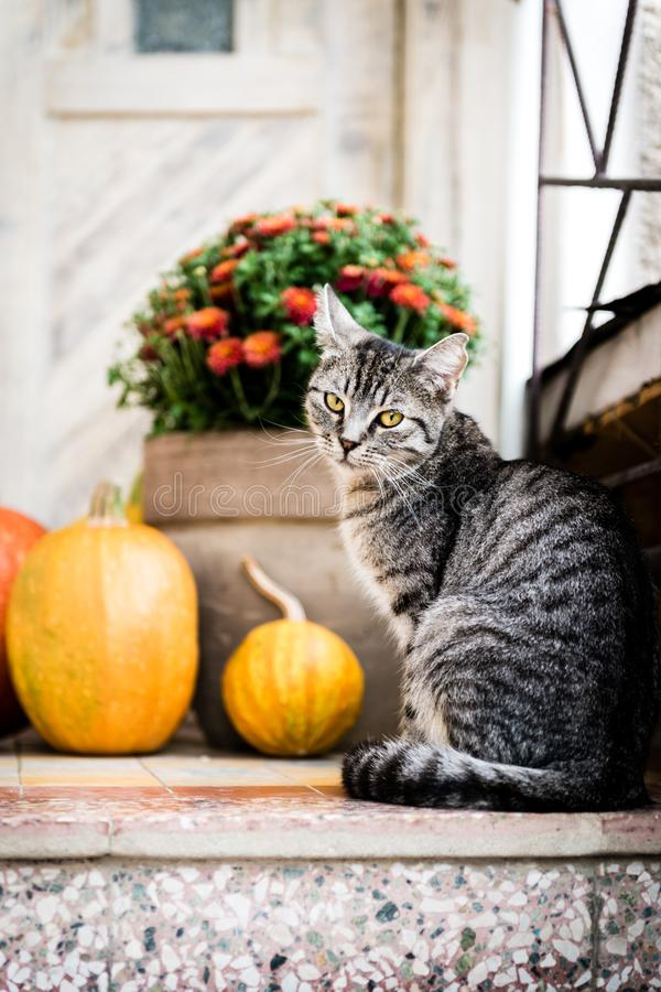 Halloween decorated front door with various size and shape pumpkins. Cat on Front Porch decorated for Thanksgiving. Halloween decorated front door with various royalty free stock photography